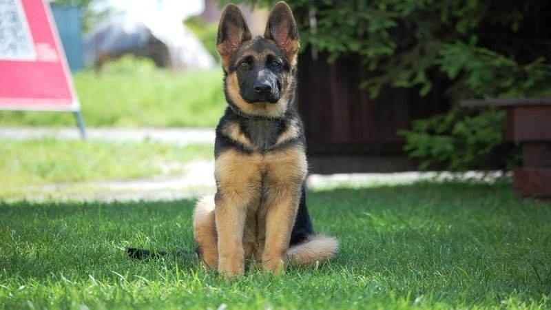 5 Tips for German Shepherd Puppies Training